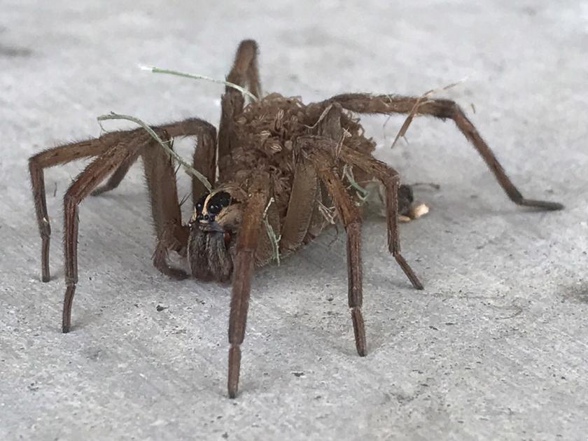 Wolf Spider-3119