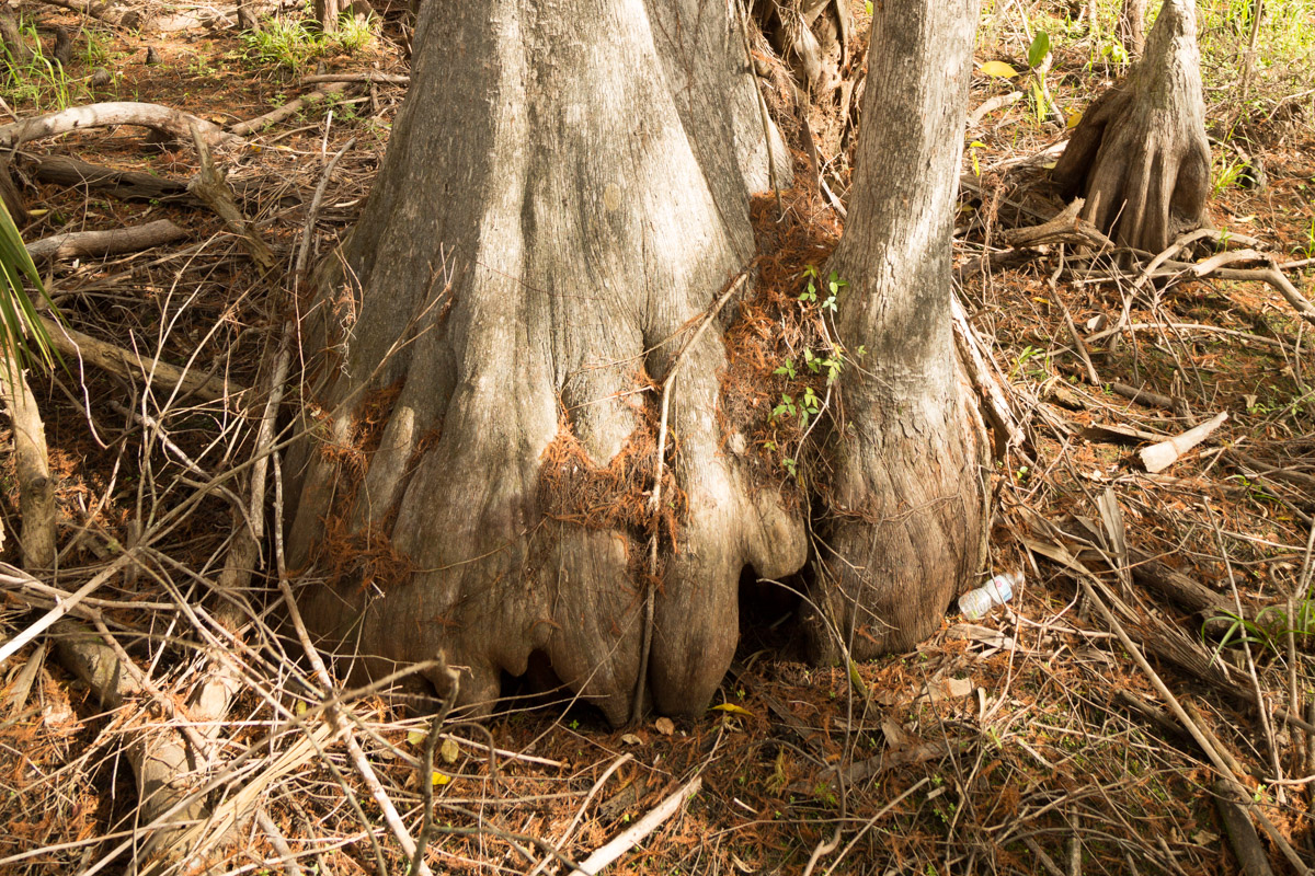 Big Cypress -5198