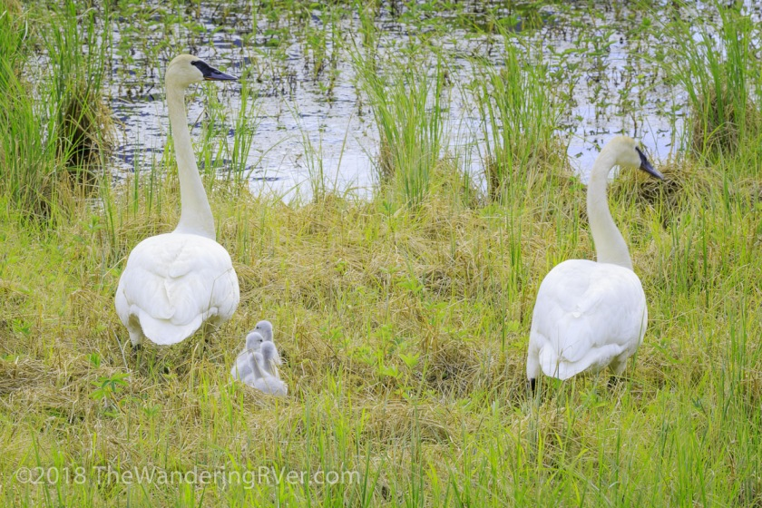 Mute Swans-8288