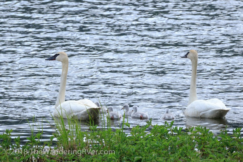 Mute Swans-8307
