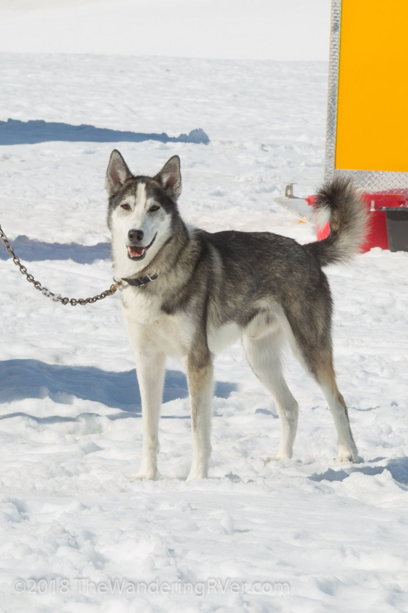 Seward Helo Dog Sled-8705