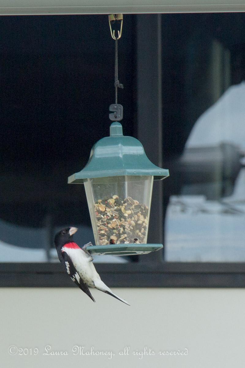 Birds at feeders-2136