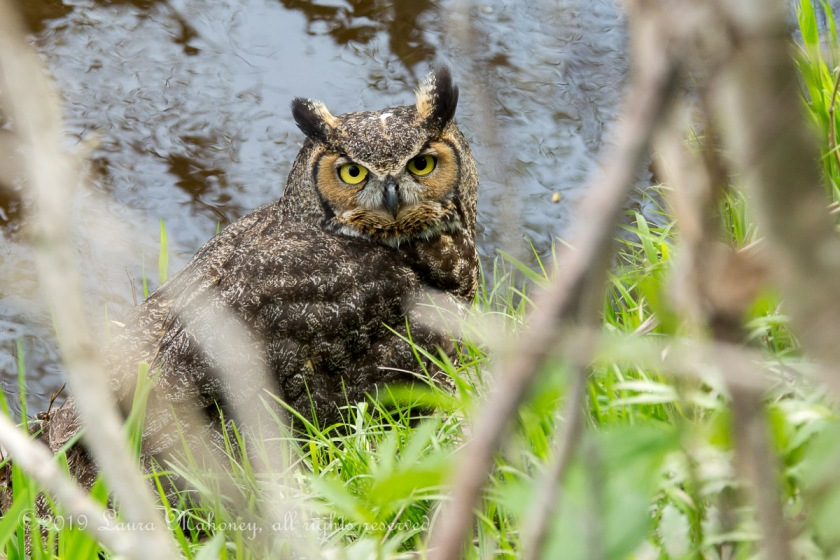 Great Horned Owl-2130