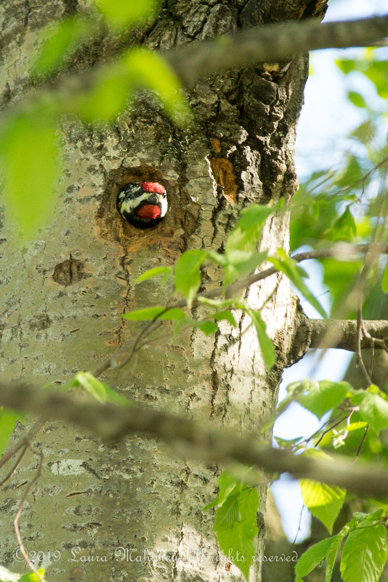 Red naped sapsucker-2222