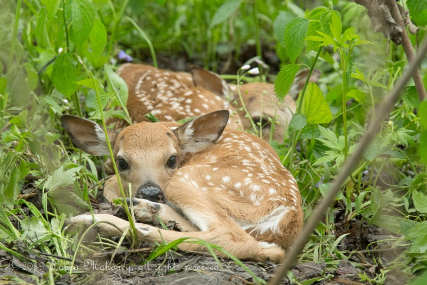 Twin Fawns-2180